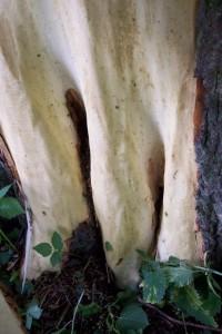 kůra byla stržena až ke kořenům